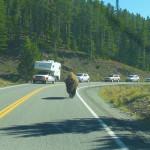 Bison Traffic Jam