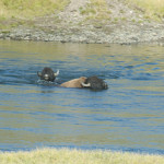 Bison swimming Yellowstone river