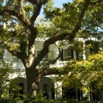 Charleston Live Oak